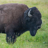 Portrait of American Bison Stock Photography