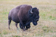 Portrait of American Bison Royalty Free Stock Photos