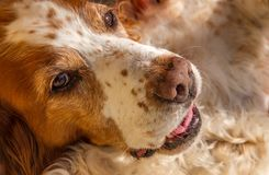 Portrait of an american brittany spaniel royalty free stock image