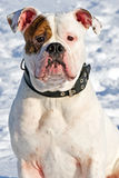 Portrait of an american bulldog Royalty Free Stock Photos