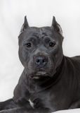 Portrait of an American Bully. In the studio Royalty Free Stock Photo