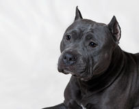Portrait of an American Bully. In the studio Royalty Free Stock Images