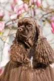 Portrait of american cocker spaniel Royalty Free Stock Photos