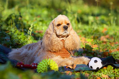 Portrait of an American cocker spaniel with toy. Royalty Free Stock Photo
