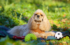 Portrait of an American cocker spaniel with toy. Royalty Free Stock Photography