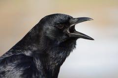 Portrait of American crow Stock Photos