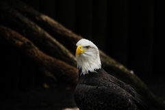 Portrait of an American Eagle Stock Photos