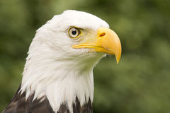 Portrait of an American eagle Stock Photo