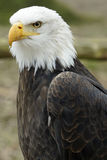 Portrait of an American eagle Stock Images