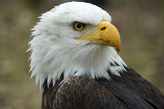 Portrait of an American eagle Royalty Free Stock Images