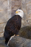 A portrait of an American eagle at a zoo royalty free stock photography
