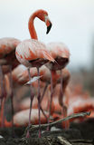 Portrait of the American Flamingo. royalty free stock photos