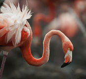 Portrait of the American Flamingo. Royalty Free Stock Photo