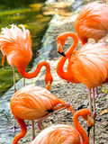 Portrait of American Flamingos Royalty Free Stock Photos