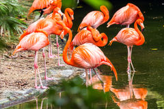 Portrait of American Flamingos Royalty Free Stock Photography