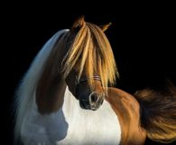 Portrait American Miniature Horse with long mane and forelock. American Miniature Horse. Portrait pinto stallion with long white mane and gold forelock on black Stock Photo
