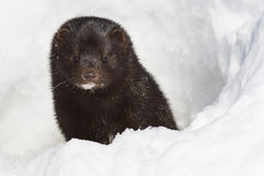 Portrait of an American mink which looks out from a snow Stock Images