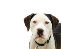 Portrait of an American pit bull terrier isolated on white. Brown and white american pit bull terrier with brown eyes, red sclera of eyes from cold virus. copy royalty free stock photos