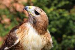 Portrait of an american red-tailed hawk Stock Photo