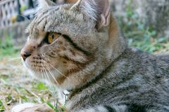 Cat portrait,american shorthair cat. Portrait of american shorthair cat in the backyard stock photography