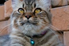 Cat portrait,american shorthair cat. Portrait of american shorthair cat in the backyard royalty free stock image