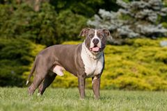 Portrait of American staffordshire terrie Stock Image