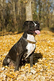 Portrait of the american staffordshire terrier Stock Image