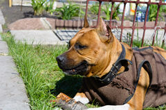 Portrait American Staffordshire Terrier Stock Photography