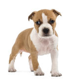 Portrait of American Staffordshire Terrier Puppy Royalty Free Stock Images