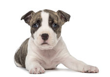 Portrait of American Staffordshire Terrier Puppy Stock Images