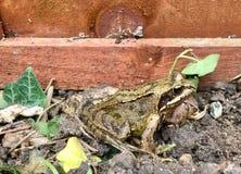 Portrait amical de grenouille Images stock