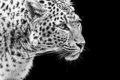 Portrait of Amur Leopard in black and white Stock Image