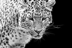 Portrait of Amur Leopard in black and white Royalty Free Stock Photo