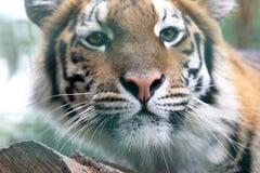 Portrait of Amur tiger Stock Photography