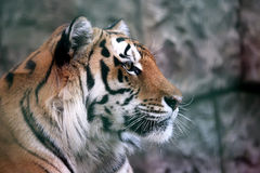 Portrait of Amur tiger Stock Photography
