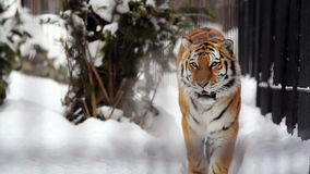 Portrait of Amur tiger walking around the cage