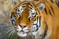 Portrait of Amur Tigers Stock Images