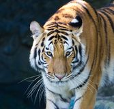 Portrait of Amur Tigers Royalty Free Stock Image