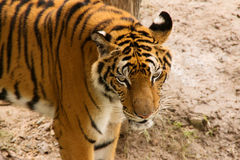 Portrait of Amur Tigers Stock Photos
