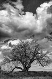 Portrait of an ancient mulberry tree in bw Royalty Free Stock Photos