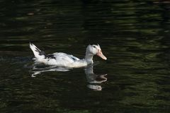 Portrait of Ancona Duck swimming in its natural habitat. The Ancona duck is a large dual-purpose duck breed that's beautiful, friendly, excellent at foraging Stock Photography