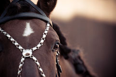 Portrait of andalusian horse Royalty Free Stock Images