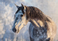 Portrait of Andalusian horse with long mane at sunset light. Winter portrait of Spanish gray horse with long mane at sunset light Royalty Free Stock Image