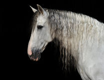 Portrait of the andalusian horse. Portrait of the white andalusian horse stock photo