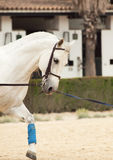 Portrait of Andalusian white horse in movement. Royalty Free Stock Image