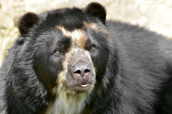 Portrait of Andean bear. Front portrait of  andean bear (Tremarctos ornatus), also known as the spectacled bear Royalty Free Stock Photo