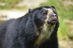 Portrait Andean bear. (Tremarctos ornatus Royalty Free Stock Photography