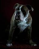 Portrait anglais d'antan de bouledogue Image stock