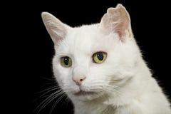 Portrait angora de chat Photos libres de droits