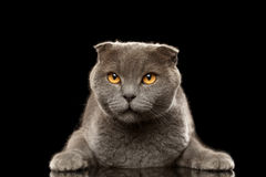 Portrait of Angry British fold Cat on Black Stock Photo